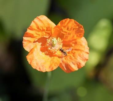 Hoverfly on poppy