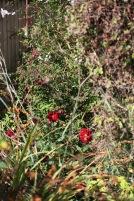 New Bed dahlias, fuchsia, solanum
