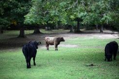 Cattle in landscape