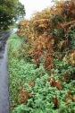 Hedgerow with bracken
