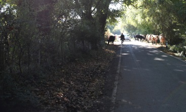 Cattle on road, cyclist