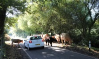 Cattle on road with car
