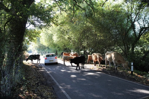 Cattle on road and car
