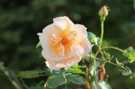 Rose peach