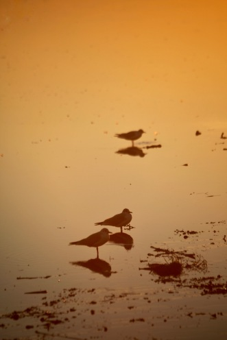 Gulls at sunset
