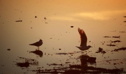 Gulls at sunest