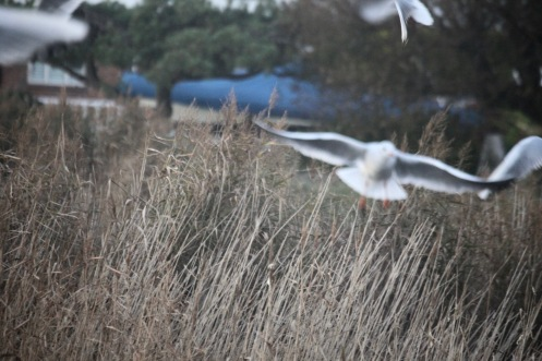 Gulls and grasses