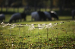 Wool on barbed wire