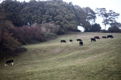 Cattle on slopes