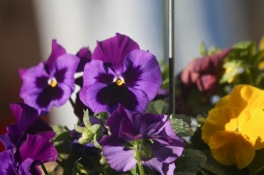 Raindrops on pansies