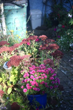 Chrysanthemums, sedum, etc