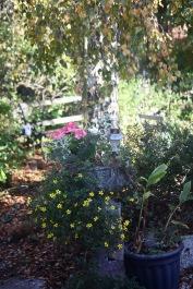 Bidens and geraniums