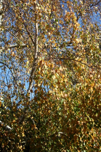 Weeping Birch leaves