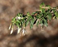 Fuchsia Hawkshead