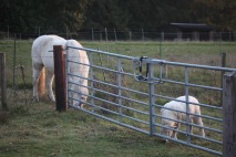 Pony Lucy and lamb