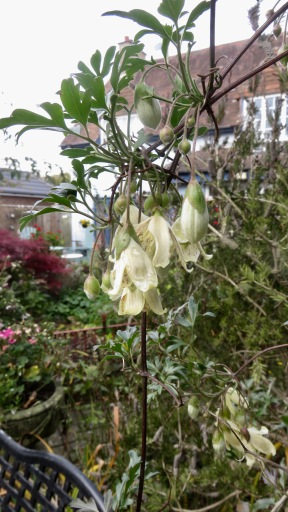 Winter clematis