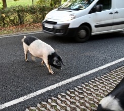 Pig on road