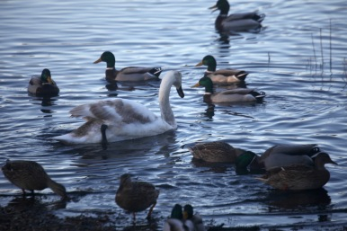 Cygnet and mallards