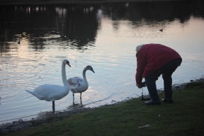 Man photographing swan and cygnet