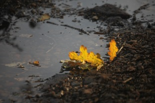 Oak leaves in puddle