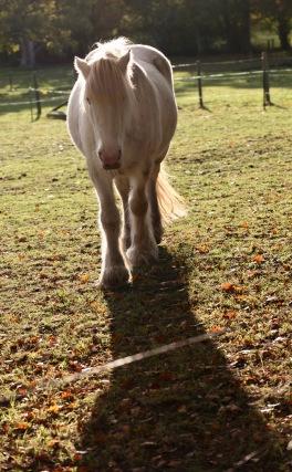 Farm horse and shadow